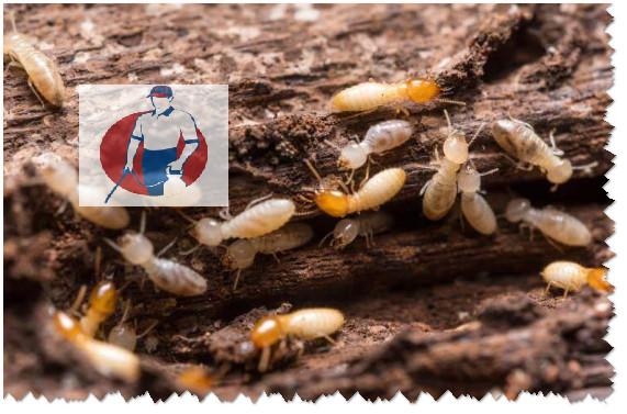 شركة مكافحة النمل الأبيض بابها