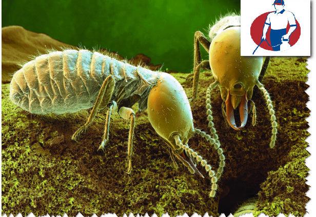علاج حشرة الربية بالدمام