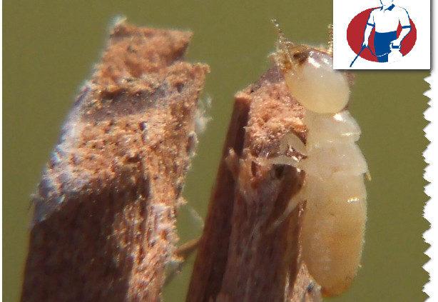 كيفية مكافحة النمل الابيض بالخبر