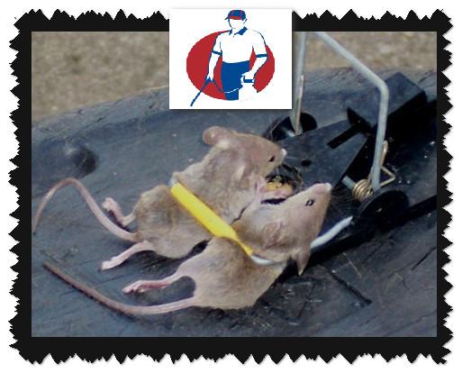 صائد الفئران بالدمام