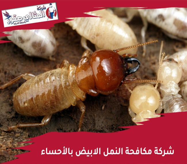 شركة مكافحة النمل الابيض بالأحساء