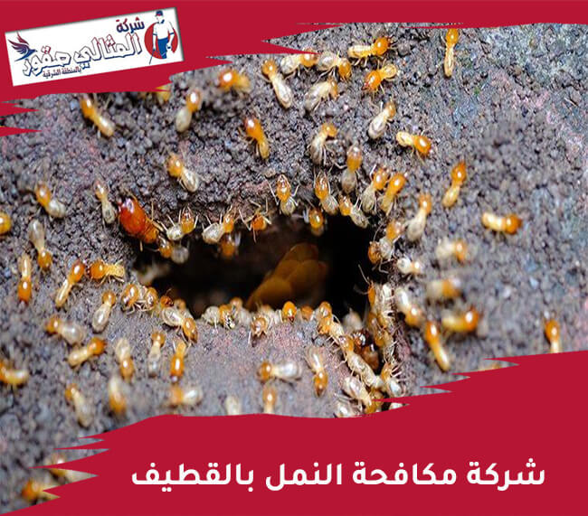 شركة مكافحة النمل بالقطيف